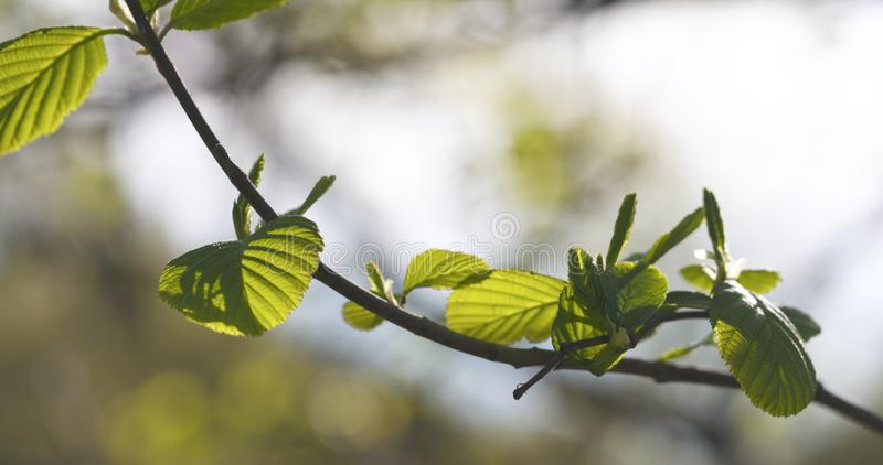 Alder leaves in spring morning closeup. Wide photo stock photos