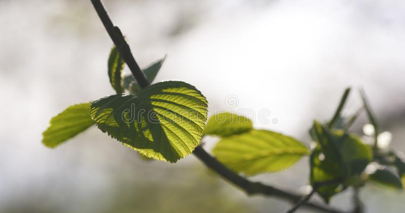 Alder leaves in spring morning closeup. Wide photo stock photography