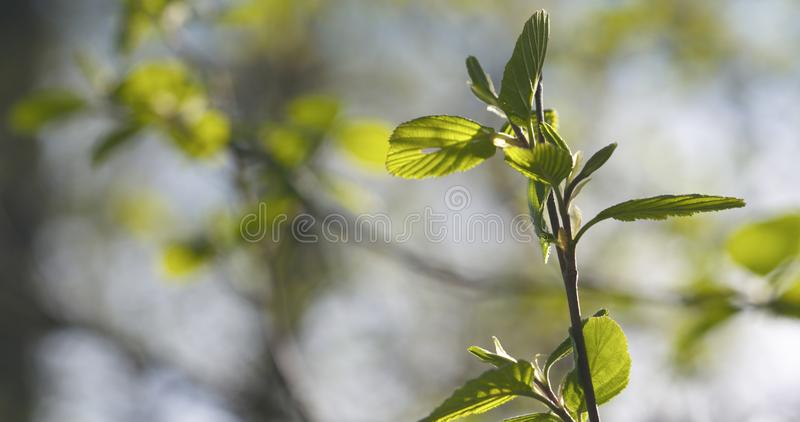 Alder leaves in spring morning closeup. Wide photo stock photo