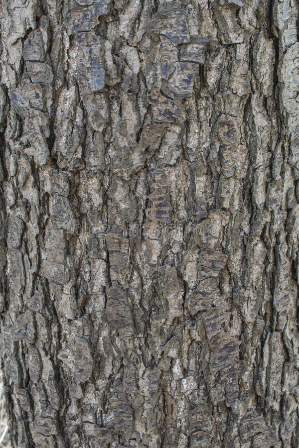Alder tree bark. Texture of an alder tree bark stock image