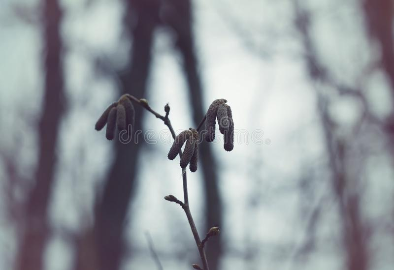 Alder tree branches with catkins. Alder tree branch with catkins in the forest at spring stock images