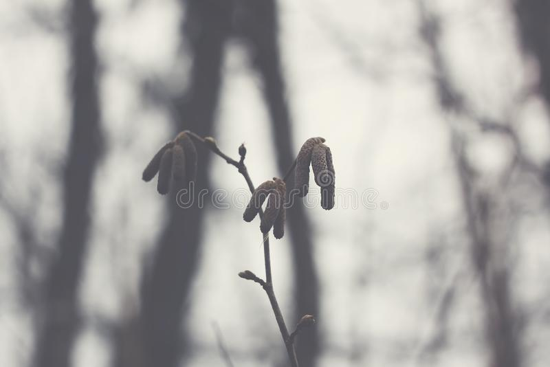 Alder tree branches with catkins. Alder tree branch with catkins in the forest at spring stock photo