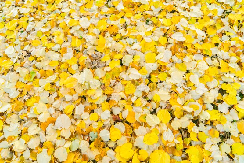 Alder tree fall leaves background. Alder tree fall yellow leaves change background royalty free stock images