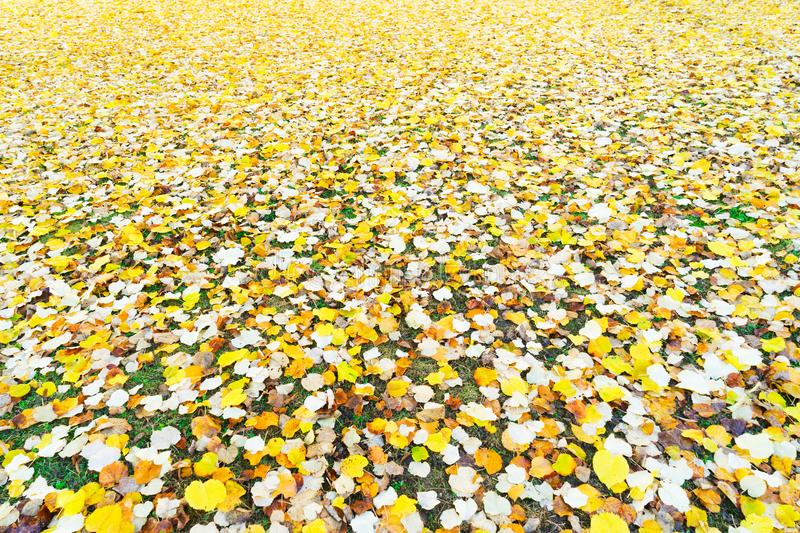 Alder tree fall leaves background. Alder tree fall yellow leaves change on grass background royalty free stock photos