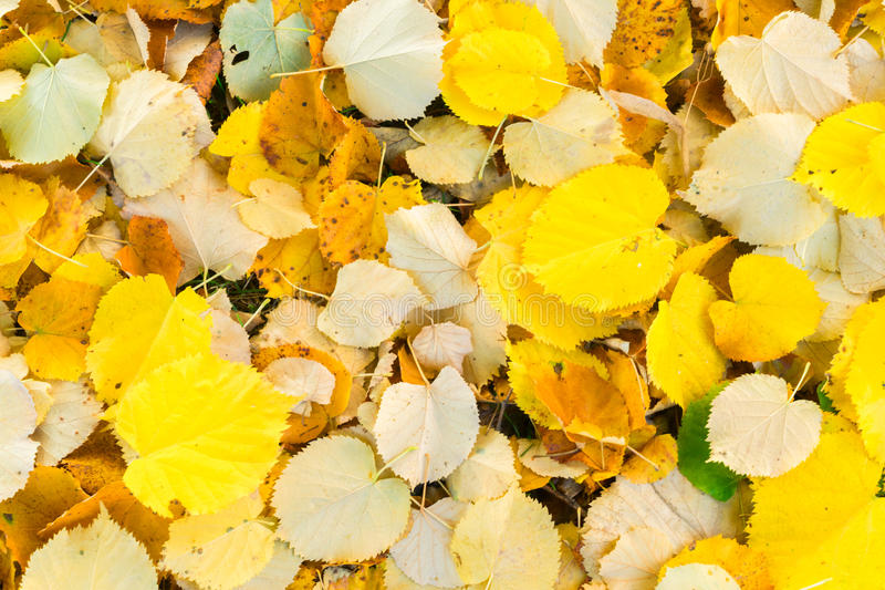 Alder tree fall leaves background stock photography