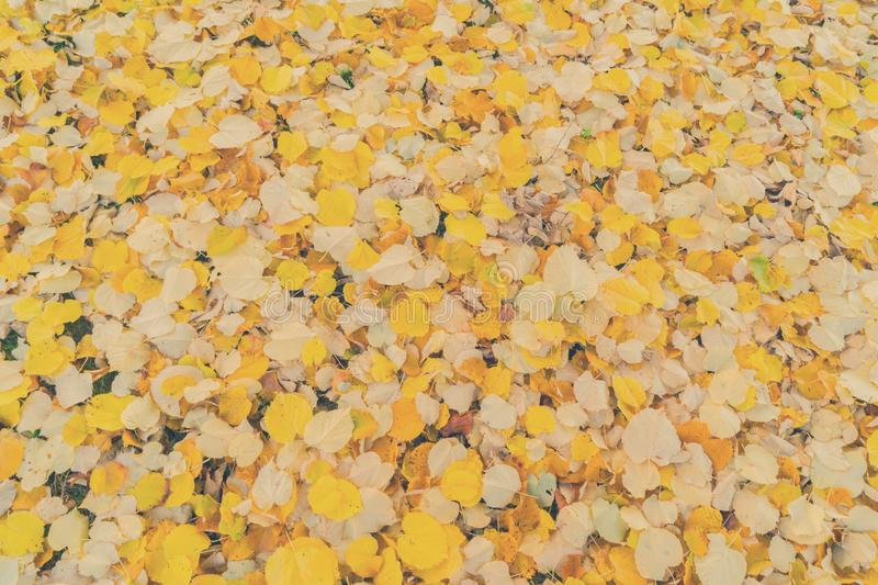Alder tree fall leaves background. Alder tree fall yellow leaves change background, retro toned royalty free stock images