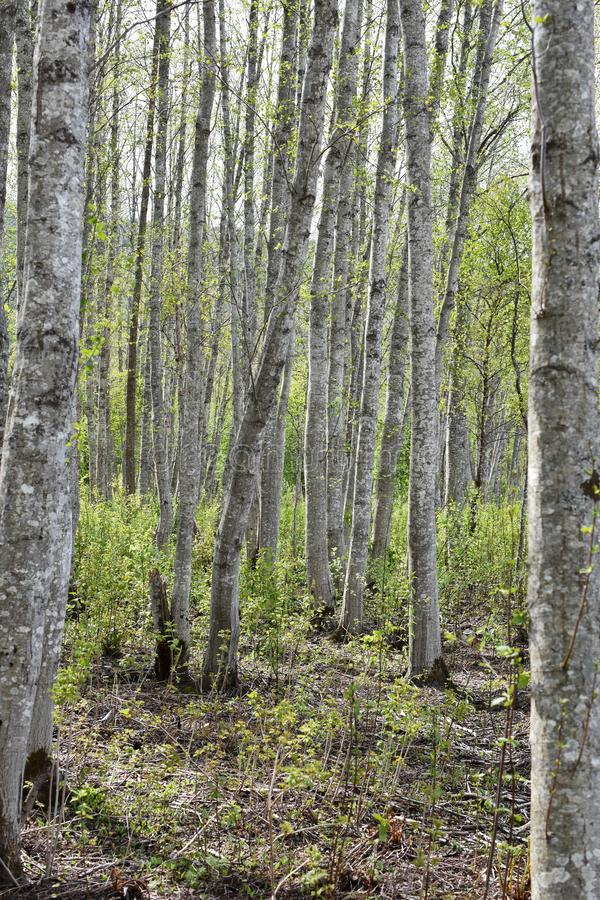 Spring forest with alder trees. Alder tree forest with intensely green new foliage and gray stems royalty free stock photos