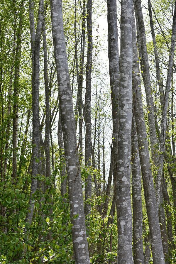 Spring forest with alder trees. Alder tree forest with intensely green new foliage and gray stems royalty free stock image