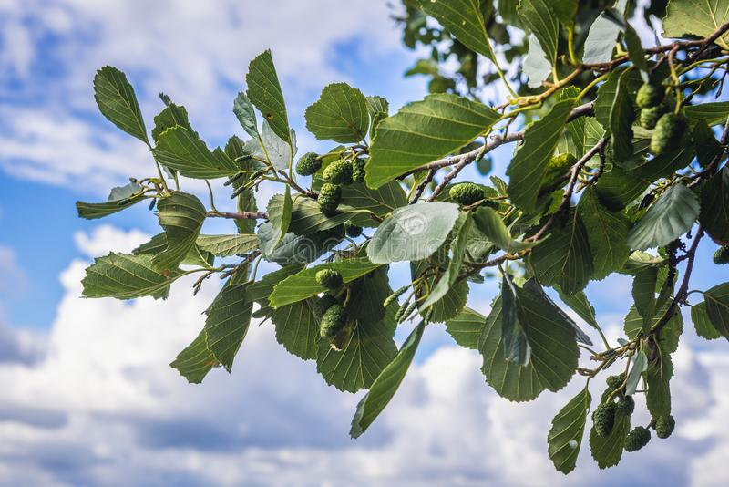 Alder tree leaves. Alder tree branch with leaves and small cones stock photography