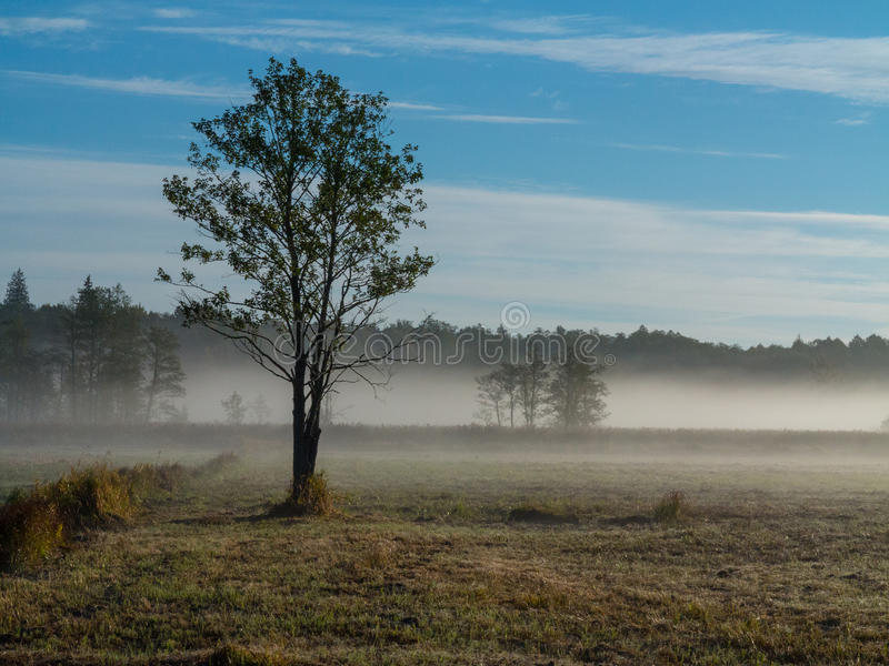 Alder tree in misty morning. Alder tree in morning with mist over meadow horizon, Bialowieza Forest, Pland, Europe stock photography