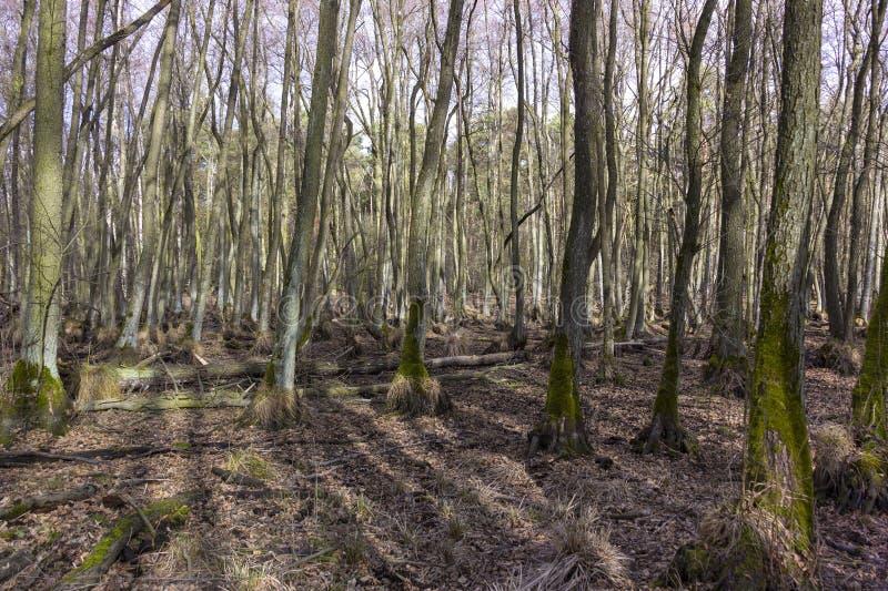 Alder Tree swamp without water, Brandenburg. Alder tree swamp without water during winter, Brandenburg stock photos