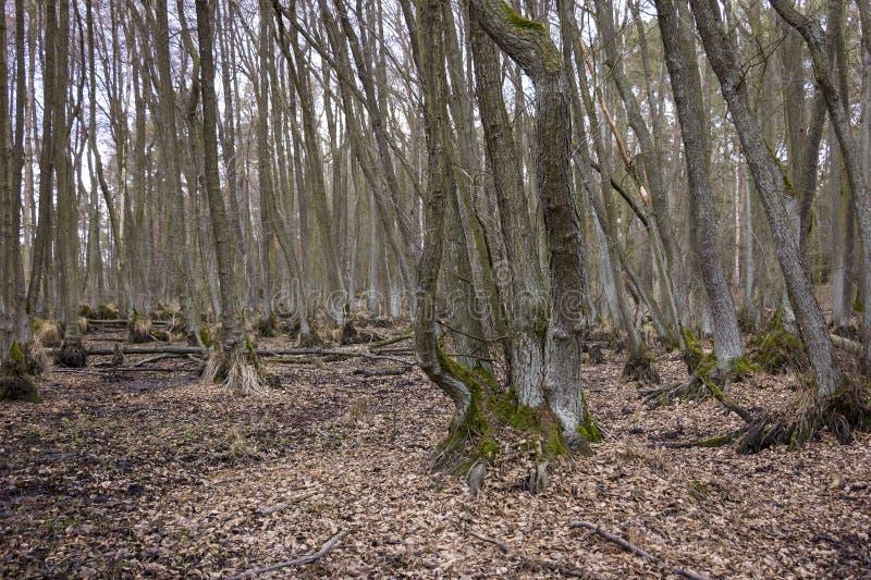 Alder Tree swamp without water, Brandenburg royalty free stock photo