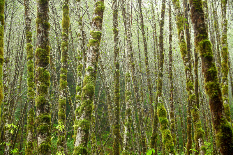 Alder Trees Royalty Free Stock Photography