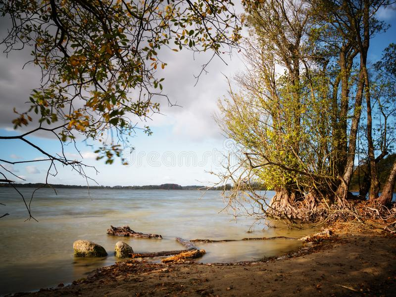 alder trees with bare roots on the lake shore in the warm evening light, smooth water by long time exposure, copy space stock photos