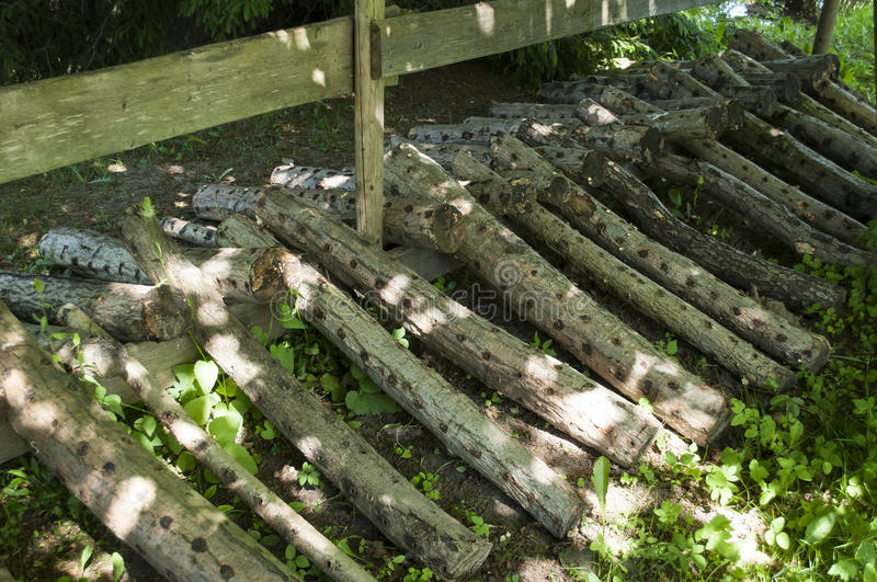 Alder trunks for shiitake mushroom. Cultivation in the shadow royalty free stock photos