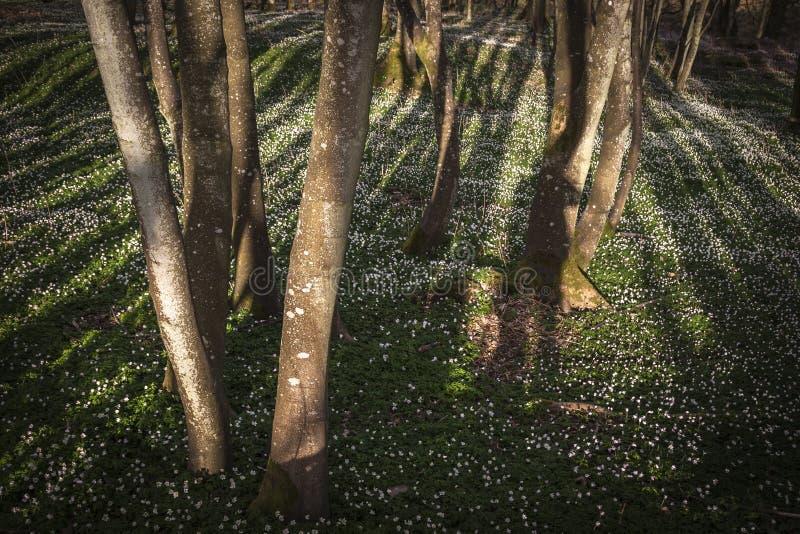 Alder and wildflowers in Scotland. Alder and wildflowers at Fettercairn Woods in Scotland stock image