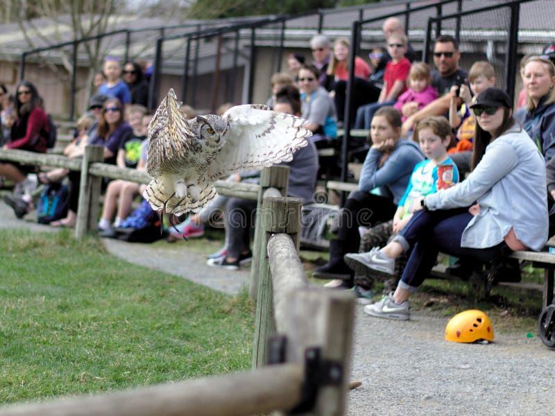 Aldergrove, Brits Colombia 25 maart, 2019 - Owl Standing op de trainer dient de vogel in toont royalty-vrije stock fotografie