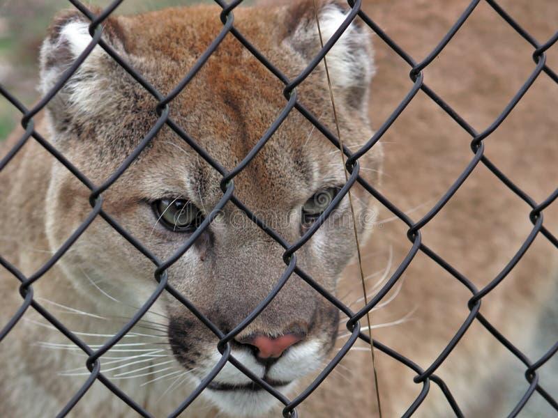 Aldergrove, Columbia Britânica 25 de março de 2019 - um Couger passeia a gaiola no jardim zoológico maior de Vancôver imagens de stock
