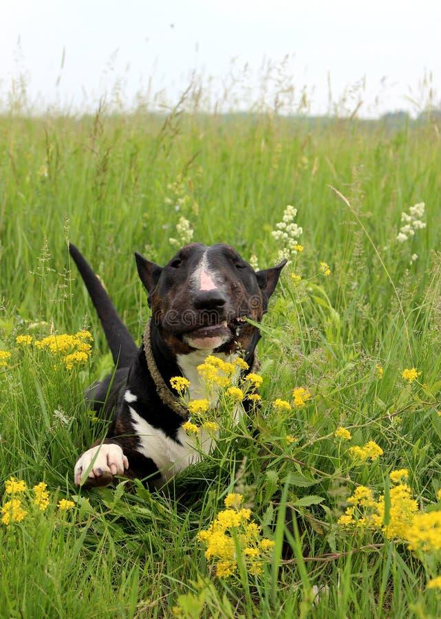 Alegria da vida - um homem inglês de bull terrier que aprecia uma caminhada, crowling em um prado grande fotografia de stock