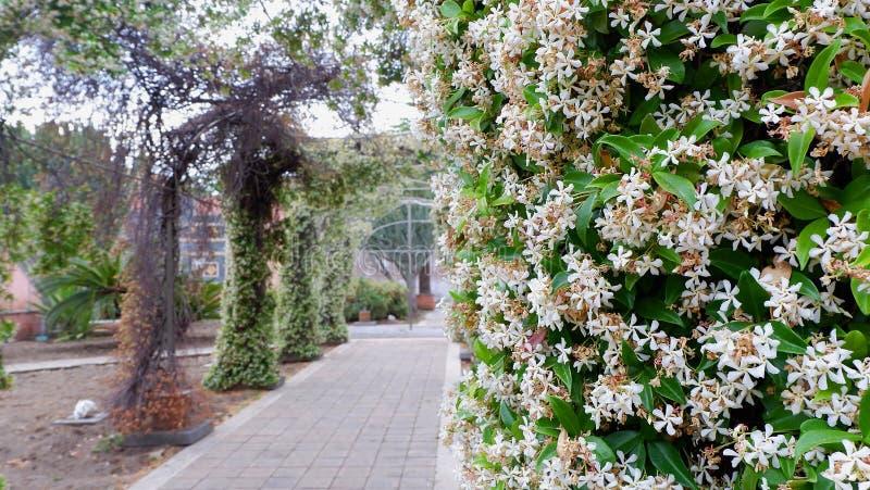 Aleia arqueada com os arbustos do jasmim no pátio do monastério italiano Sic?lia, Catania imagens de stock royalty free