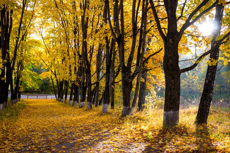 Aleia bonita em uma manhã ensolarada, outono dourado do bordo foto de stock