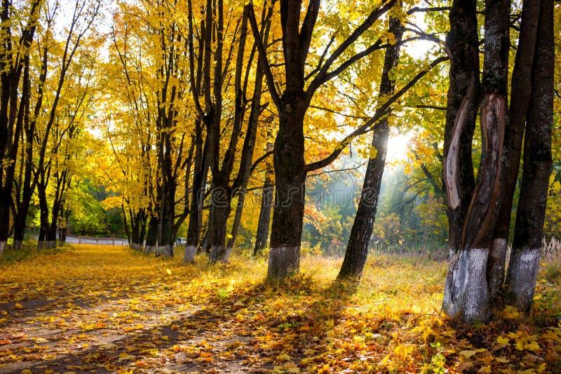 Aleia bonita em uma manhã ensolarada, outono dourado do bordo imagem de stock