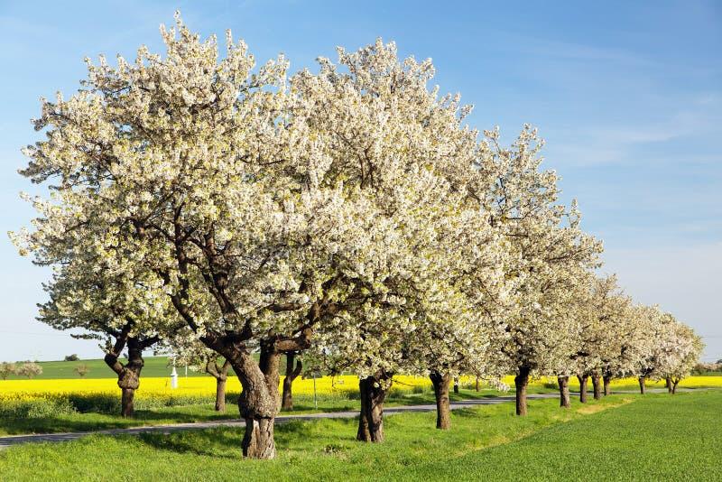 Aleia das ?rvores de cereja da ?rvore de floresc?ncia bonita foto de stock