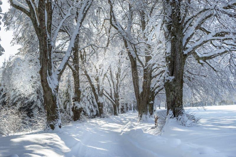 Aleia no inverno com ?rvores nevados imagens de stock royalty free