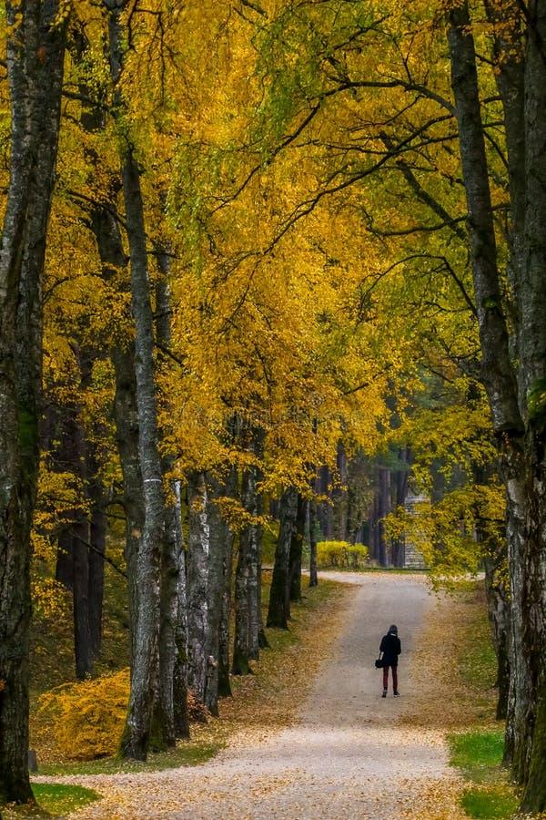 Aleja brzozy w pogodnym jesień dniu zdjęcie stock