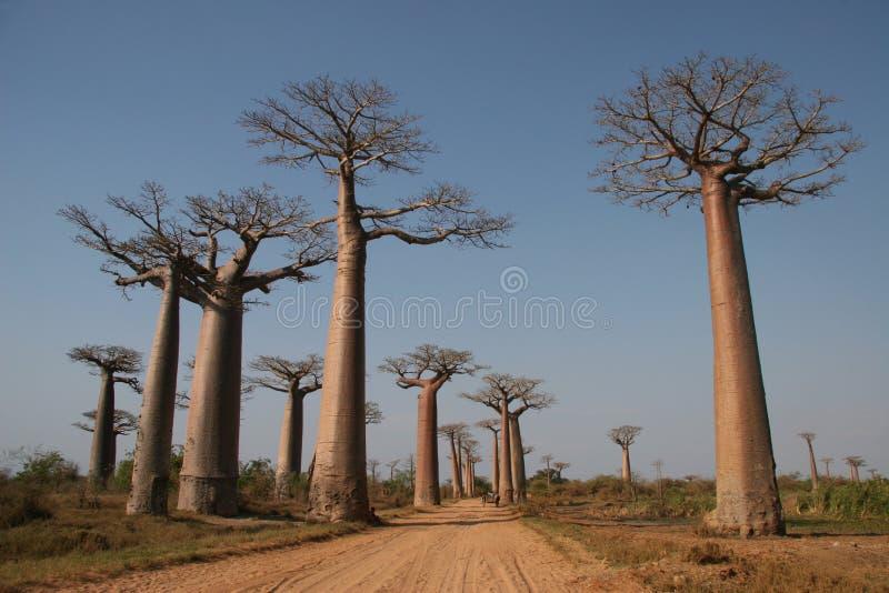 aleja de baobab Madagaskaru fotografia royalty free