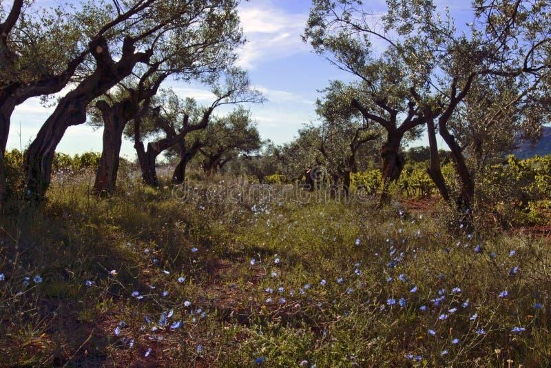 Aleja drzewa oliwne z dziką pospolitą cykorią, Cichorium intybus obrazy royalty free