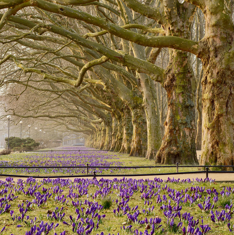Aleja płascy drzewa obrazy stock