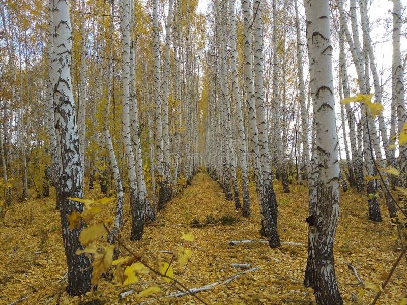 Aleja, pas ruchu, jesień, kolor żółty, liść, droga, brzoza, drzewo, biel, tło, tło, las zdjęcia royalty free