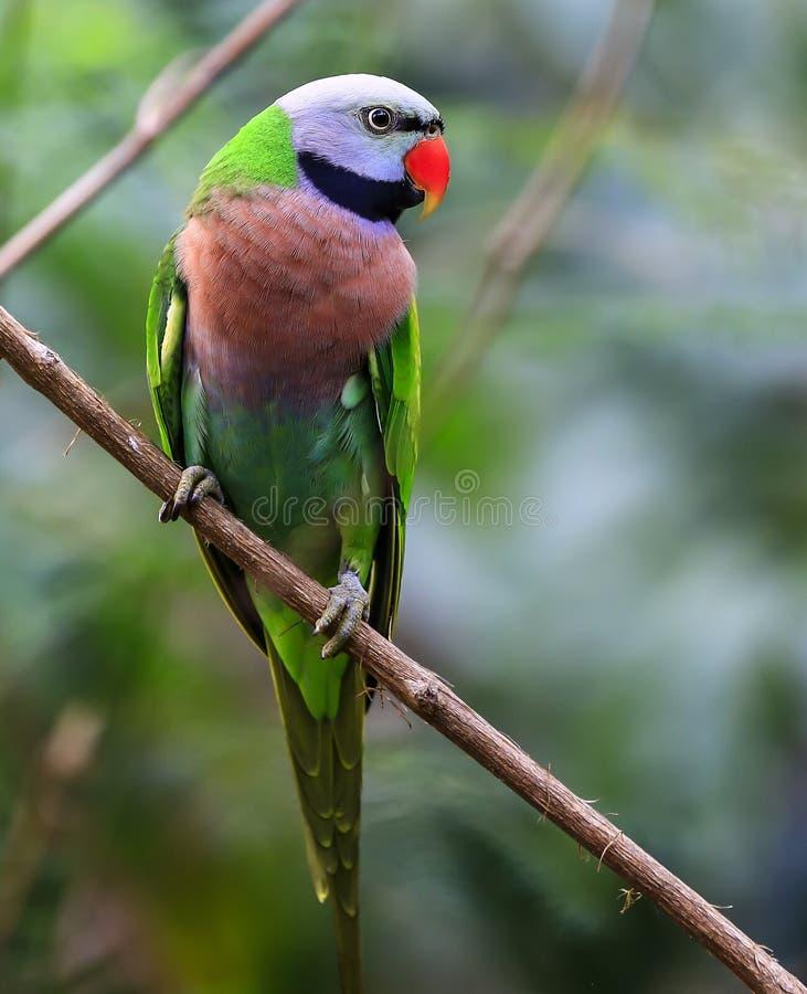 Aleksandrynu parakeet, Kolorowa papuga zdjęcia stock