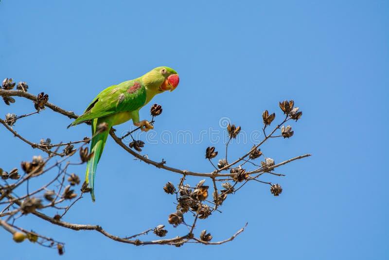 Aleksandrynu parakeet lub aleksandrynu Psittacula papuzi eupatria, piękny zielony ptasi tyczenie na gałąź obrazy stock