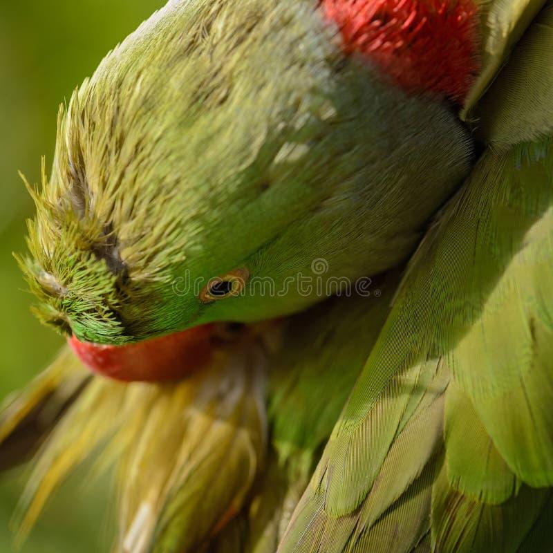 Aleksandrynu Parakeet - Psittacula eupatria zdjęcie royalty free