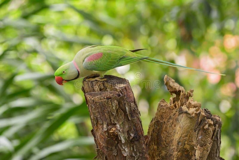 Aleksandrynu Parakeet - Psittacula eupatria obraz royalty free