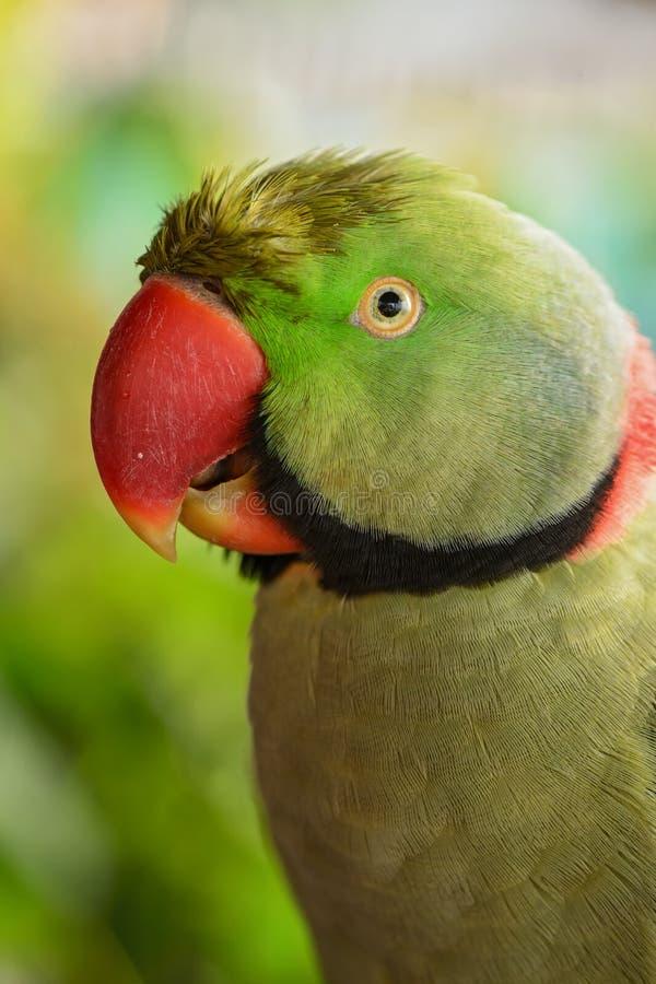 Aleksandrynu Parakeet - Psittacula eupatria zdjęcie stock