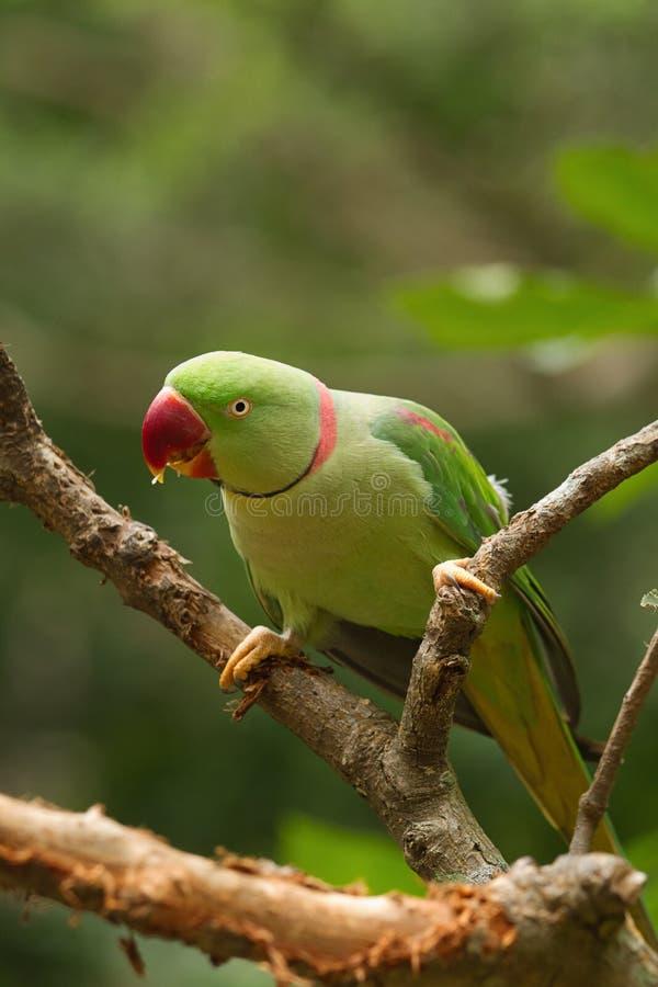 Aleksandrynu Parakeet (Psittacula eupatria) zdjęcia royalty free