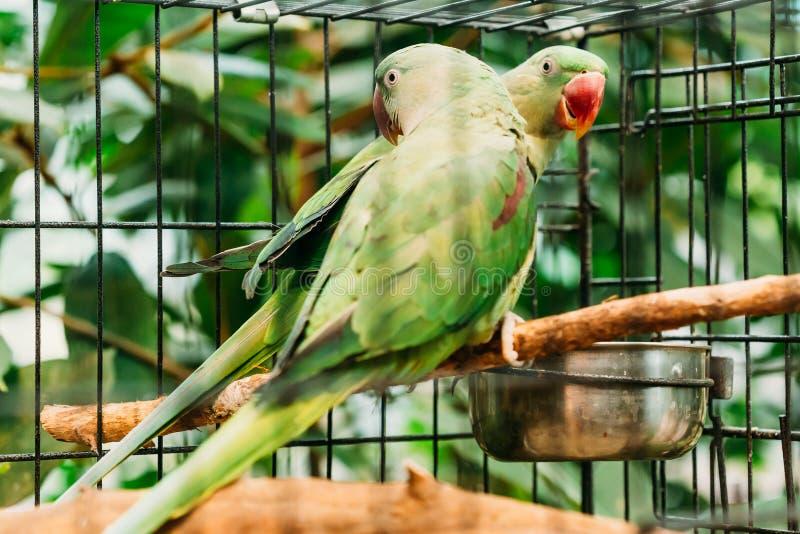 Aleksandrynu Parakeet Psittacula Eupatria Zielona Ptasia papuga dziki zdjęcie royalty free