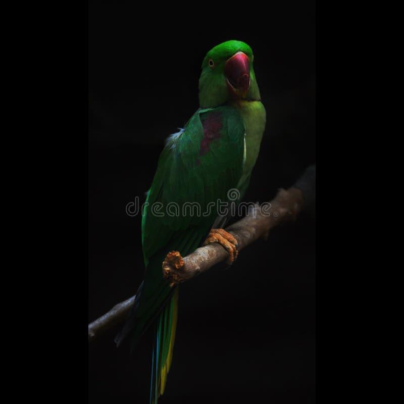 Aleksandrynu parakeet, także znać jako aleksandryn papuga, jest średniej wielkości papugą w genus Psittacula rodzina Psi obraz royalty free