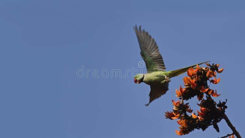 Aleksandrynu parakeet w Bardia, Nepal obraz stock