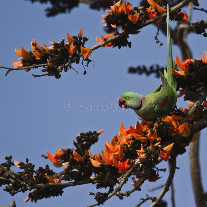 Aleksandrynu parakeet w Bardia, Nepal fotografia stock