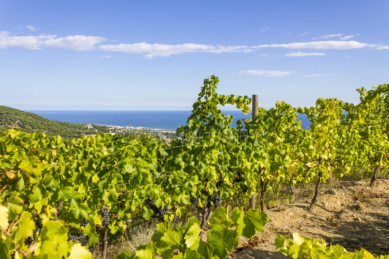 Alella vineyards, Spain. Vineyards of the Alella wine region in the vicinity of Barcelona on the Mediterranean Sea royalty free stock photography