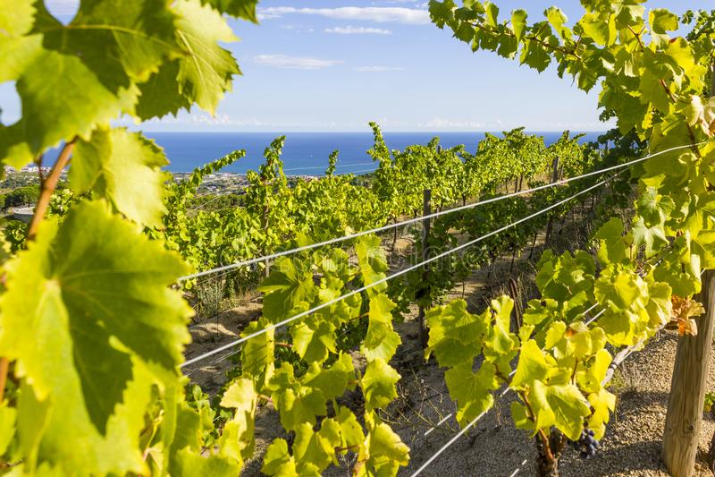 Alella vineyards. Vineyards of the Alella wine region near the Mediterranean Sea in Catalonia, Spain stock images