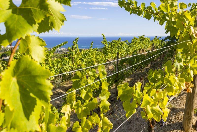 Alella vingårdar arkivbilder