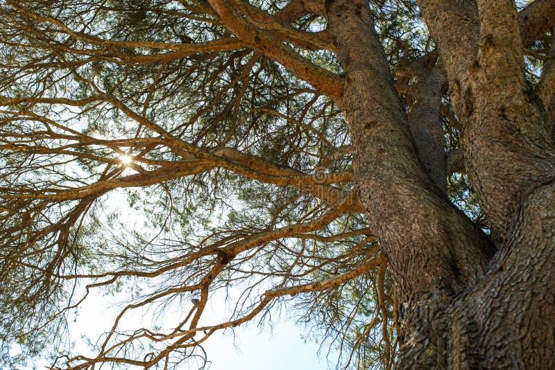 Aleppo Pine Tree, Australia royalty free stock photos