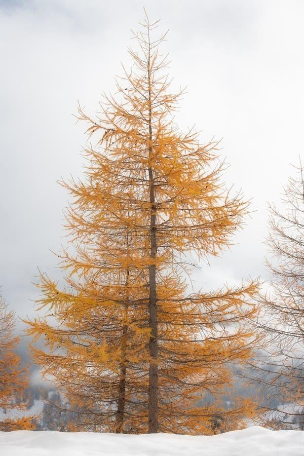 Alerce coloreado oro del otoño en las primeras nevadas imágenes de archivo libres de regalías