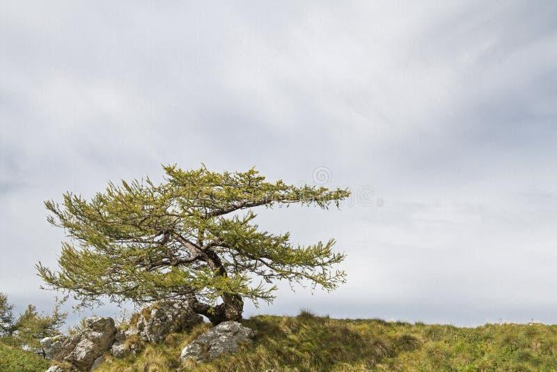 Alerce en las montañas de Bondone imagen de archivo libre de regalías