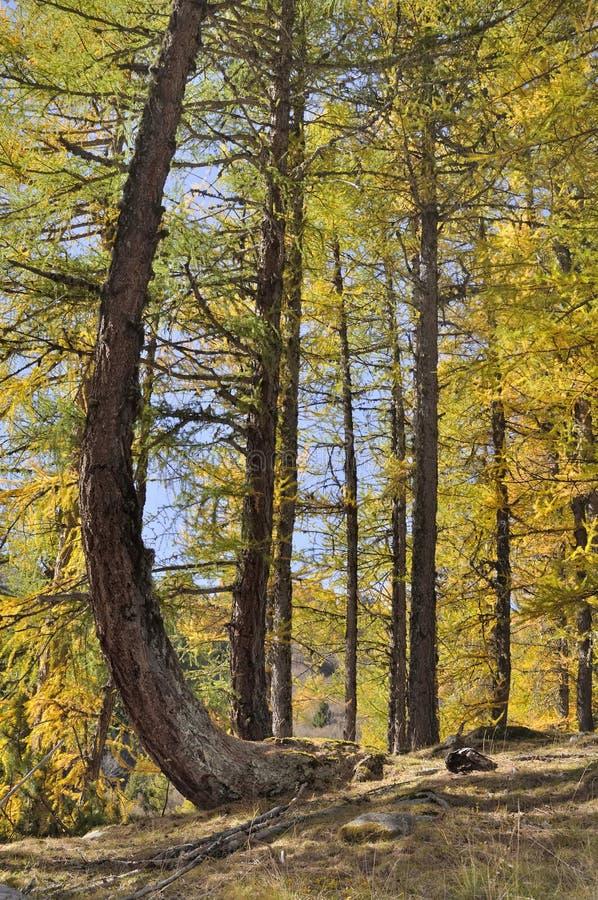 alerces amarillos en bosque imagen de archivo libre de regalías